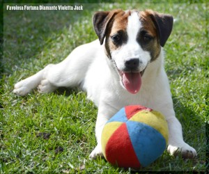 carattere jack russell Toscana